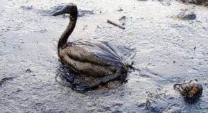 Vida selvagem atingida pelo desastre do Exxon Valdéz
